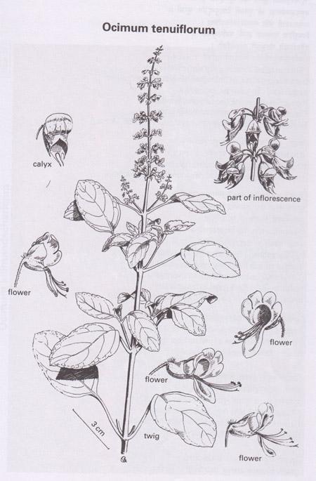 Drawn herbs Basil! holy krishna Pinterest and