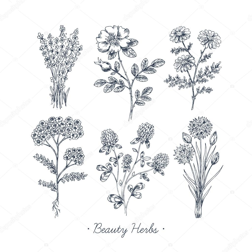 Drawn herbs Beauty Vintage #80109874 Stock Drawn