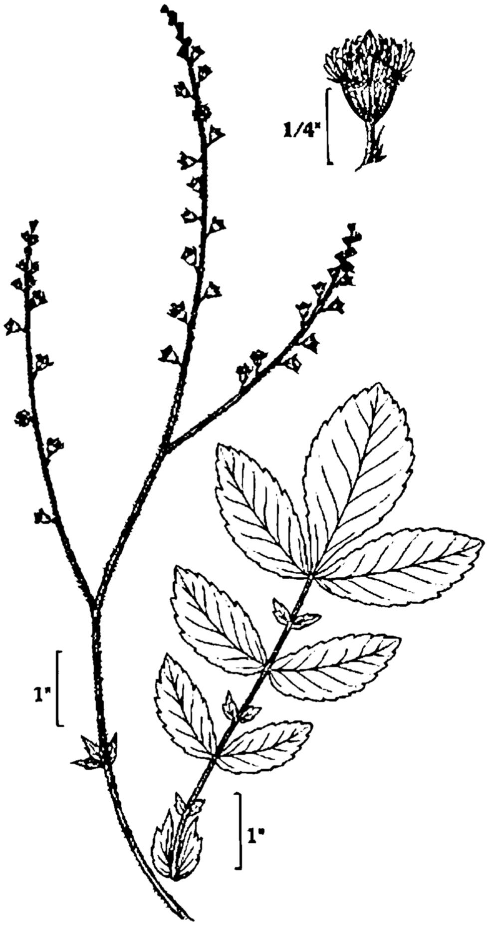 Mint clipart peppermint leaf Drawing leaf Leaf drawing Mint