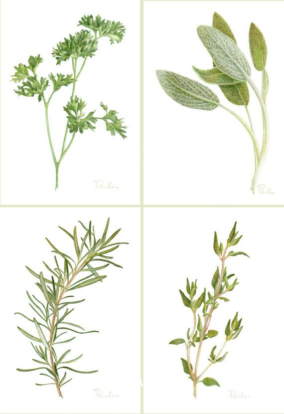 Parsley clipart herb #9