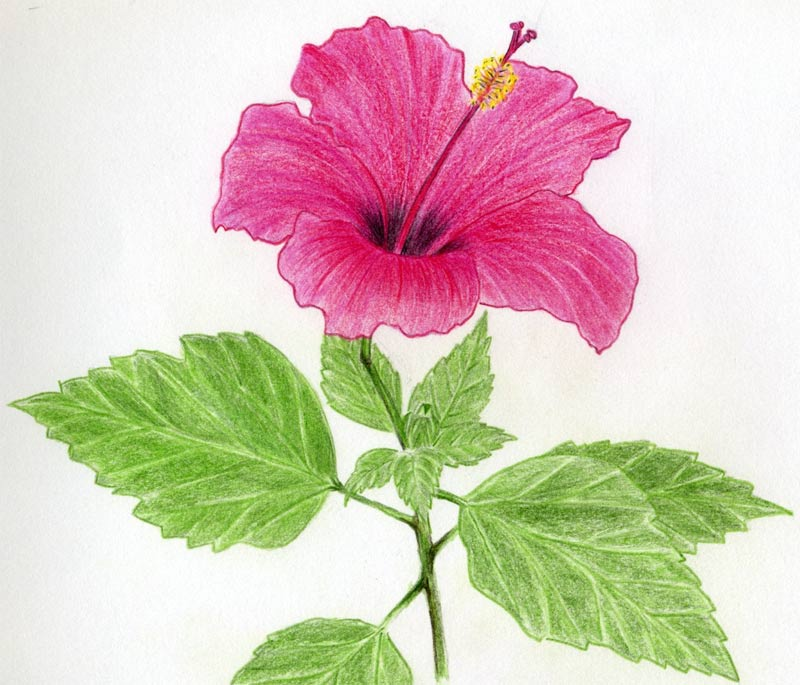 Drawn hibiscus Do Hibiscus To Hibiscus Tutorial