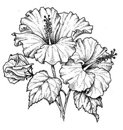 Drawn hibiscus Floral a ideas in Pinterest