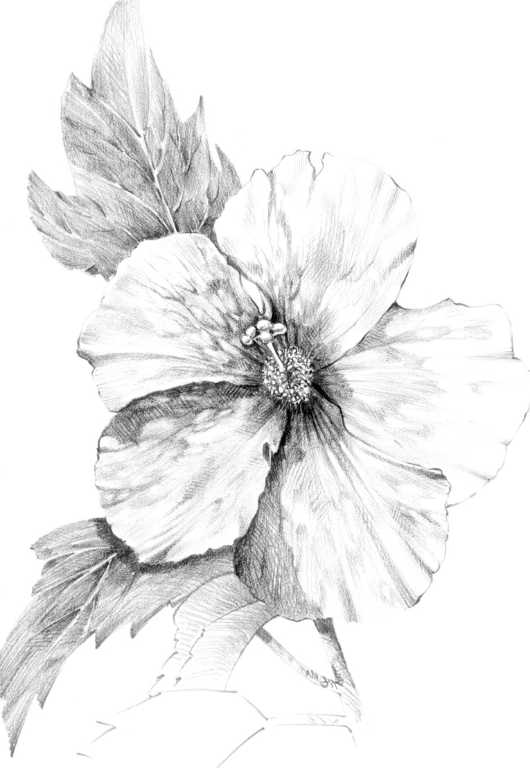 Drawn hibiscus Hibiscus Pencil Realistic Images Hibiscus