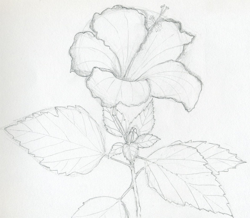 Drawn hibiscus beautiful flower  Here's beautiful surprise and