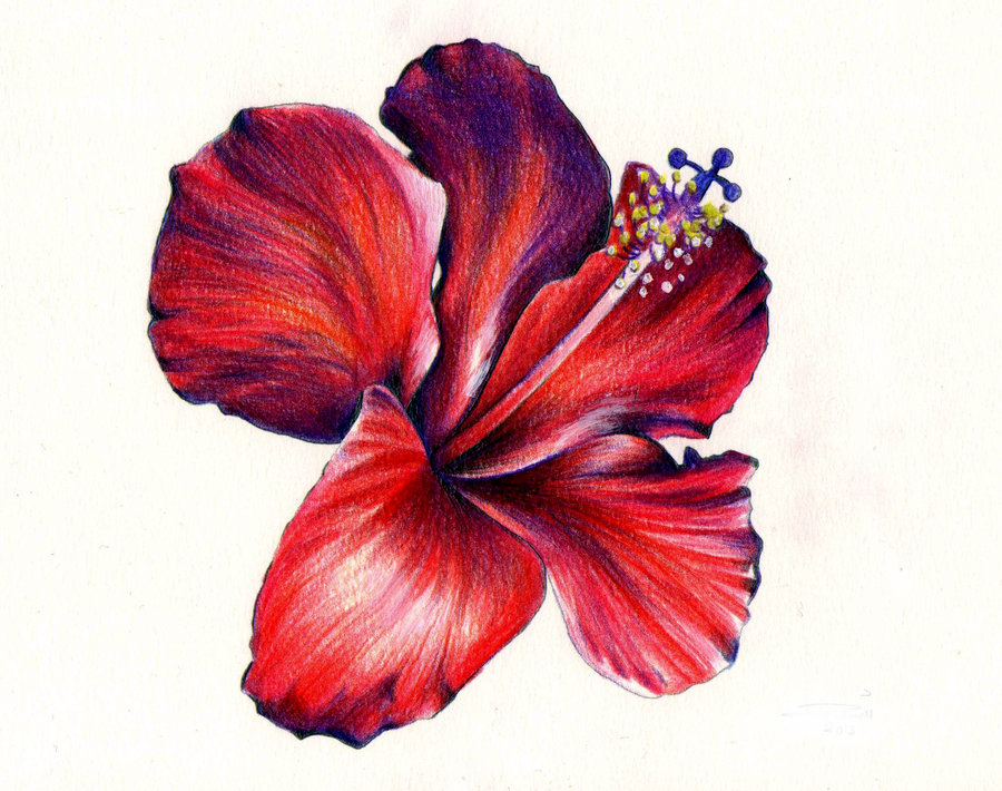 Drawn hibiscus beautiful flower Boat) Drawings this on more