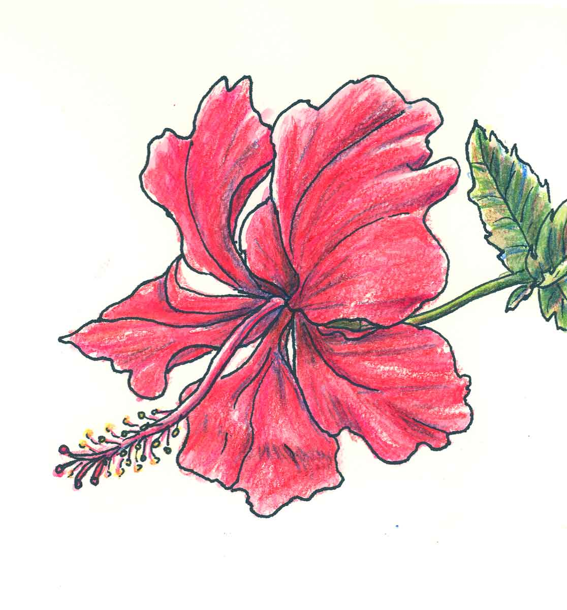 Drawn hibiscus beautiful flower Google of drawings Search Search