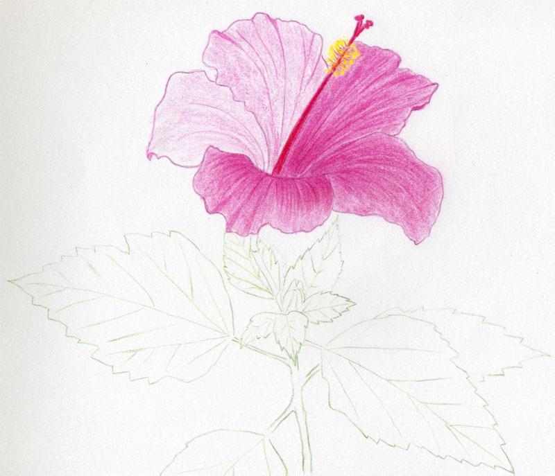 Drawn hibiscus beautiful flower Hibiscus Tutorial Flowers  Drawing