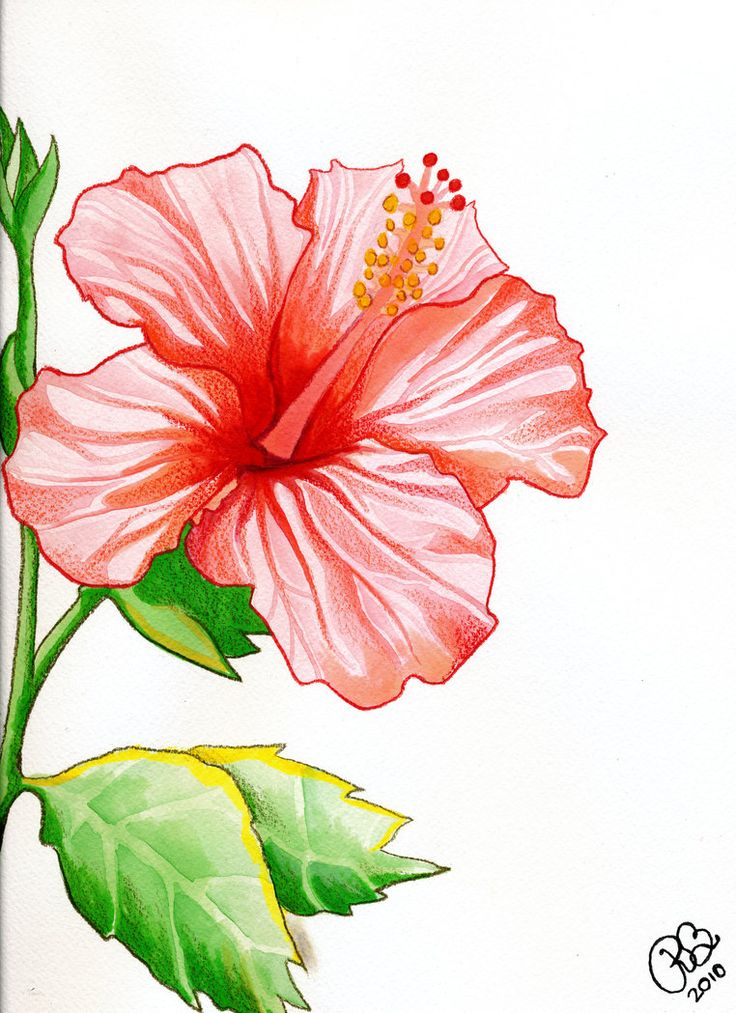 Drawn hibiscus colorado flower Flower PaintMyWorldRainbow Hibiscus by on
