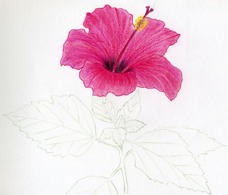 Drawn hibiscus colorado flower Images Hibiscus best Of Pinterest