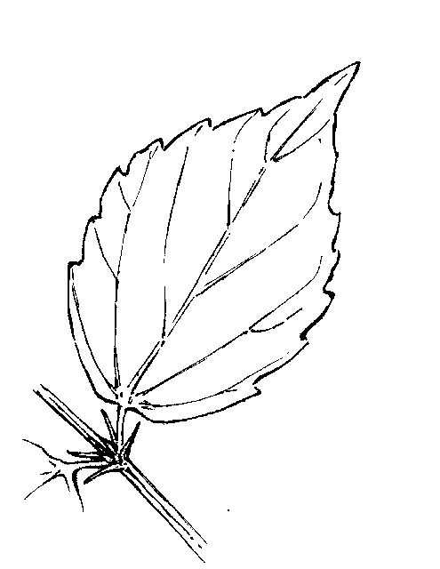 Drawn hibiscus hibiscus leaf Dichotomous Key: Botany Go Viburnum: