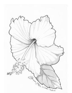 Drawn hibiscus sketch Search pencil  drawings drawing