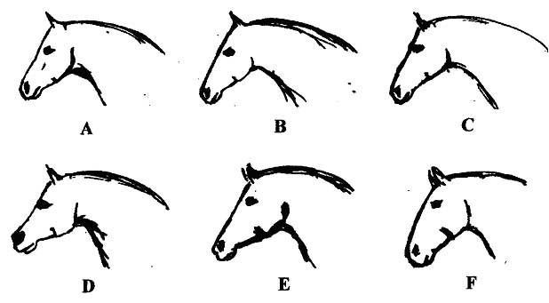 Drawn profile horse head Andalusian Spanish Spanish of Australasia