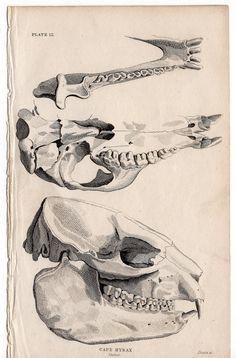 Drawn horseshoe foot Ot print  1824 antique