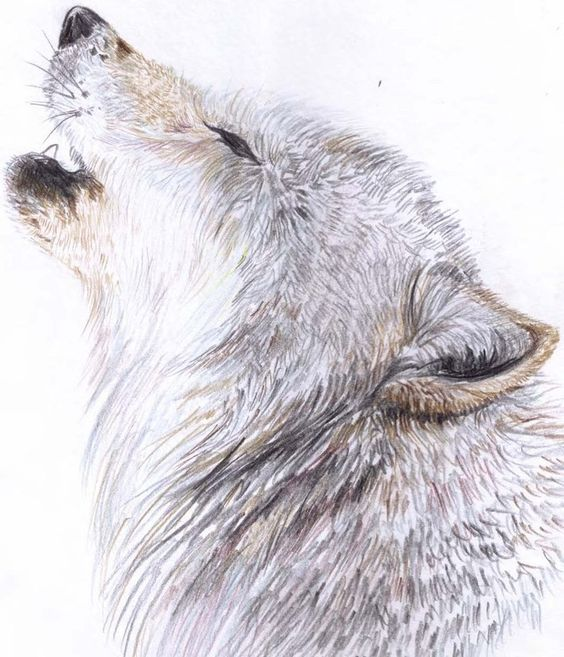 Drawn howling wolf bear  Howling wolf drawing Wolves