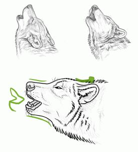 Drawn howling wolf fox Images draw with wolf draw