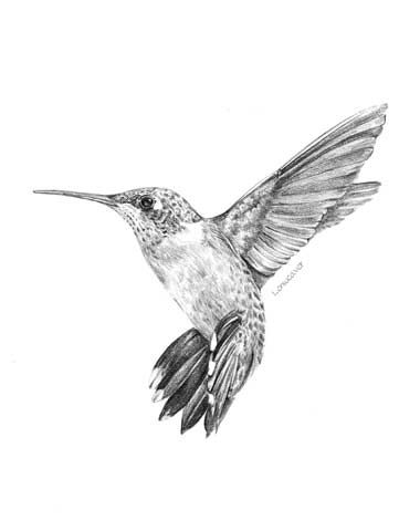 Drawn hummingbird Drawing a Ruby pencil drawing