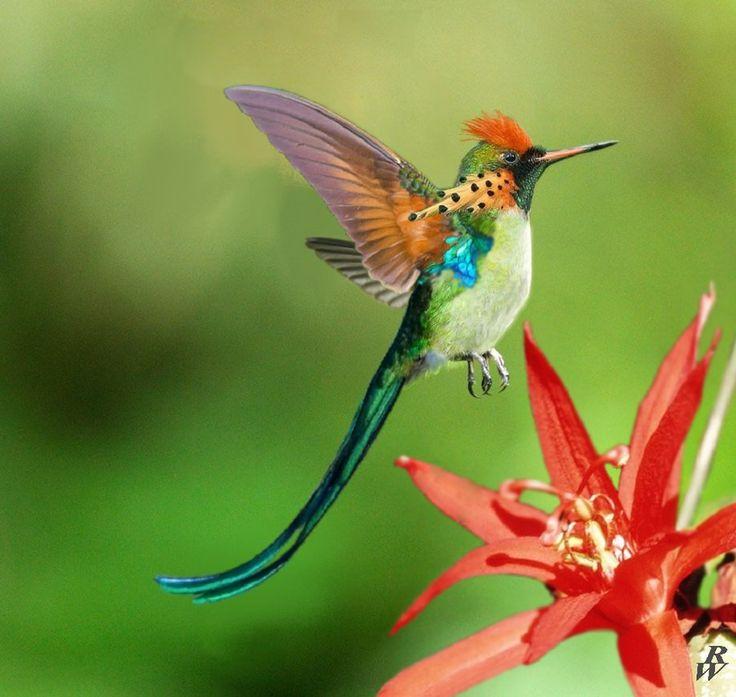 Drawn hummingbird amazing bird EXOTIC*SHOWY*HUMMINGBIRD VINE Hummingbird seeds*RARE*#1089 *25