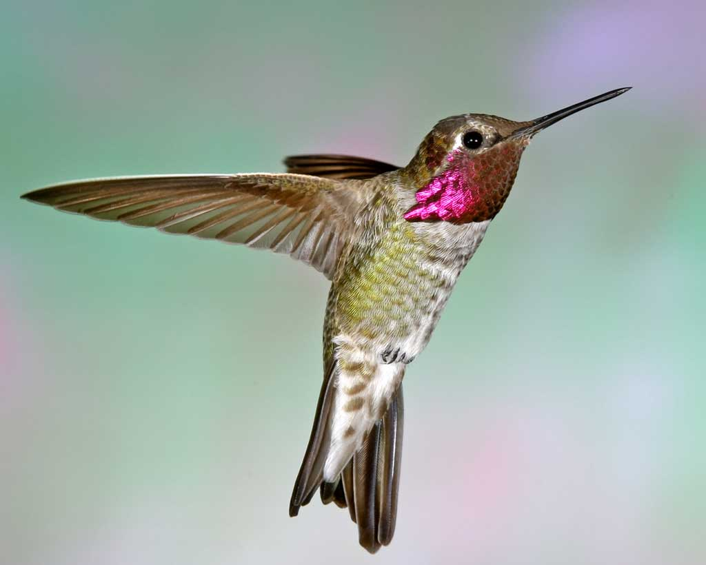 Drawn hummingbird anna's hummingbird Guide Audubon Anna's Field Hummingbird