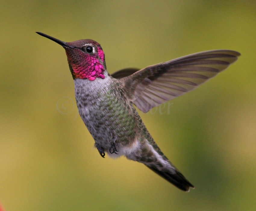Drawn hummingbird anna's hummingbird Hummingbird Hummingbird Birds: and Best