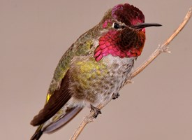 Drawn hummingbird anna's hummingbird  All Hummingbird Photo Birds