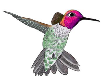 Drawn hummingbird anna's hummingbird (U National Hummingbirds National Memorial