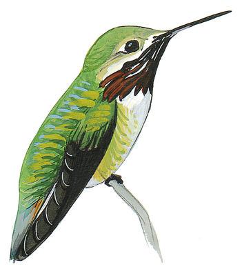 Drawn hummingbird anna's hummingbird Guide Audubon Rufous Field Hummingbird