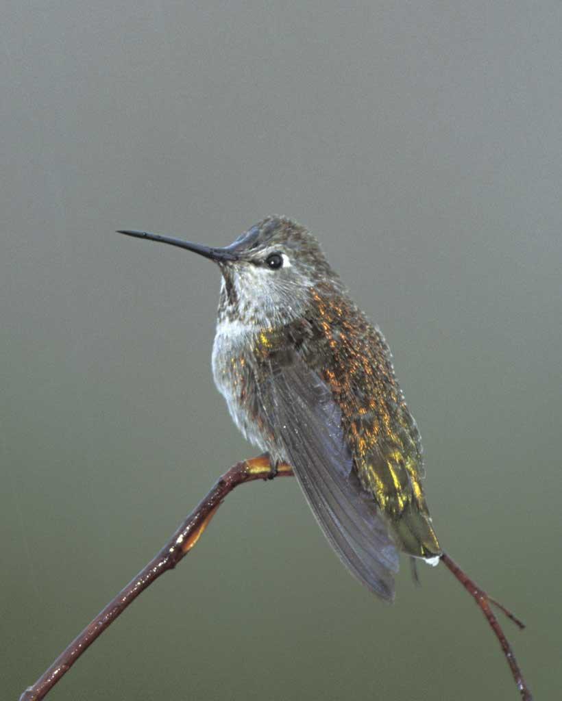 Drawn hummingbird anna's hummingbird Field Hummingbird male Audubon Anna's