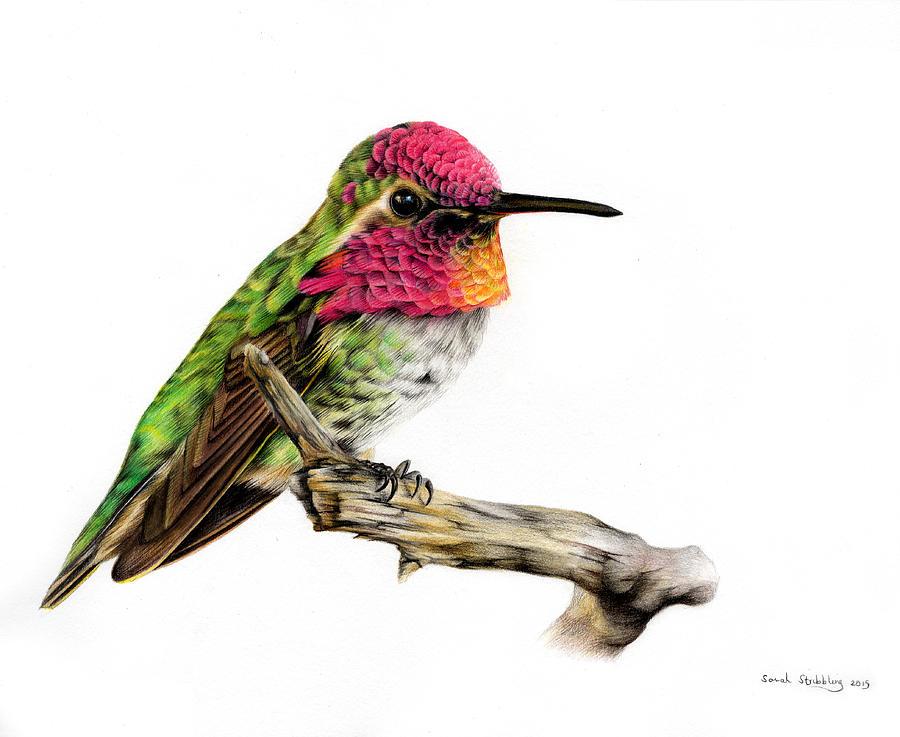 Drawn hummingbird anna's hummingbird Colour Drawing Colour Painting Sarah
