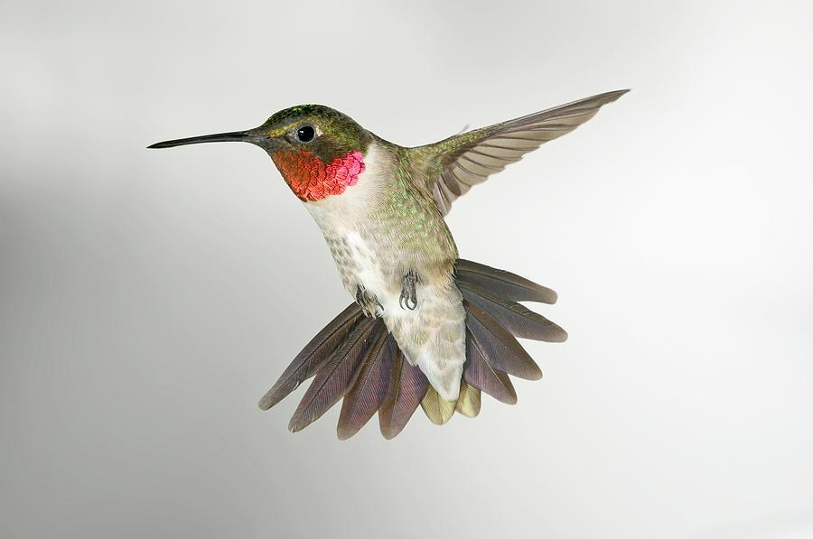 Drawn hummingbird ruby throated hummingbird Drawing Ruby Hummingbird Ruby Throated