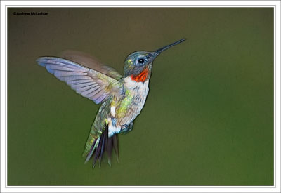 Drawn hummingbird ruby throated hummingbird McLachlan Male Andrew hummingbirds throated