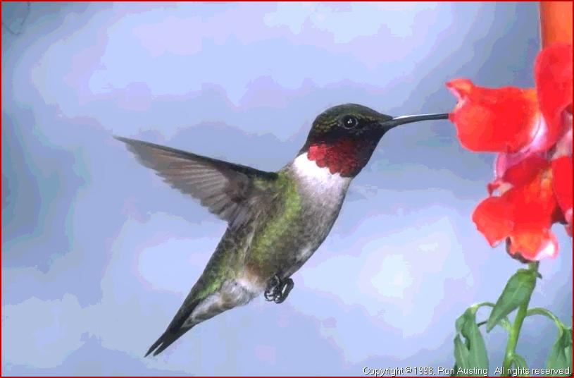 Drawn hummingbird ruby throated hummingbird Ruby Ruby Hummingbird Birds A