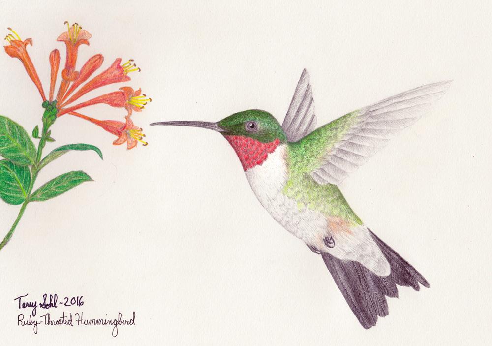 Drawn hummingbird ruby throated hummingbird Hummingbird Terry throated Ruby Sohl