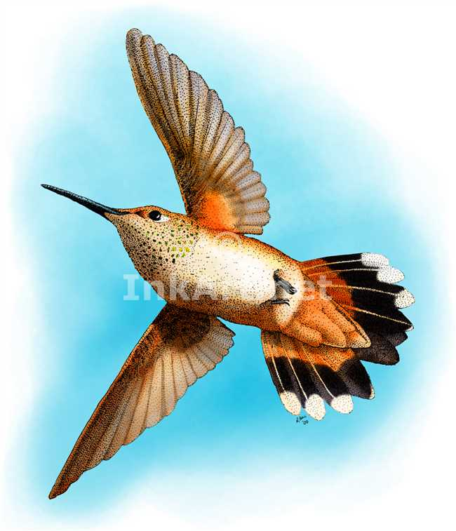 Drawn hummingbird rufous hummingbird Stock art rufous stock Rufous
