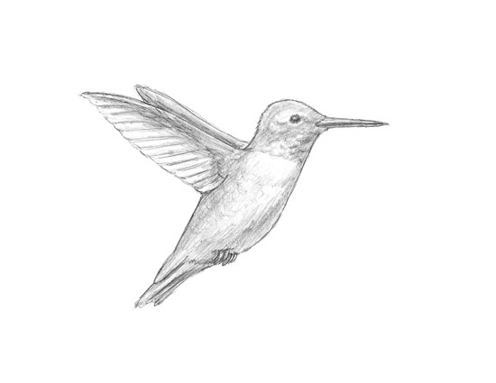 Drawn hummingbird rufous hummingbird A Hummingbird Hummingbird Pinterest How