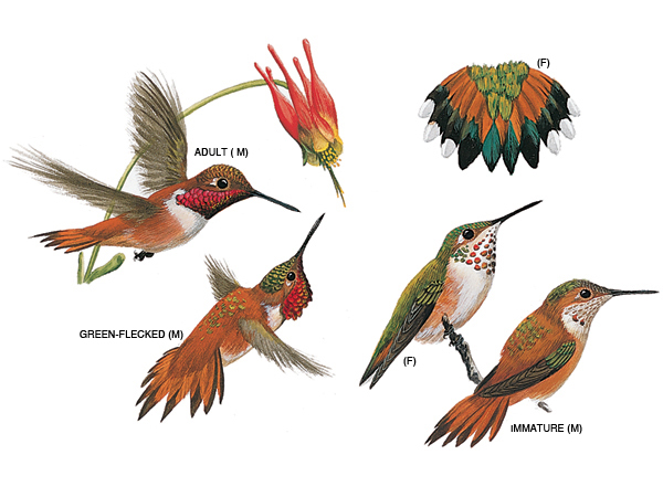 Drawn hummingbird rufous hummingbird Male female Rufous and Rufous