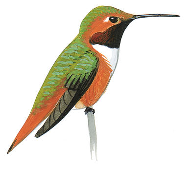 Drawn hummingbird rufous hummingbird Audubon Allen's Hummingbird Guide Hummingbird