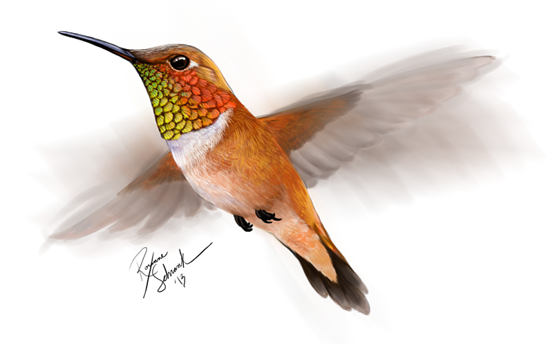 Drawn hummingbird rufous hummingbird On Rufous Rufous winternacht by