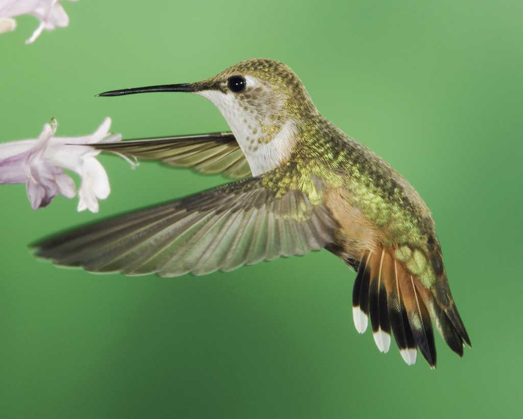 Drawn hummingbird rufous hummingbird Hummingbird female Guide adult adult