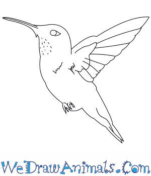 Drawn hummingbird rufous hummingbird A  Draw Hummingbird How