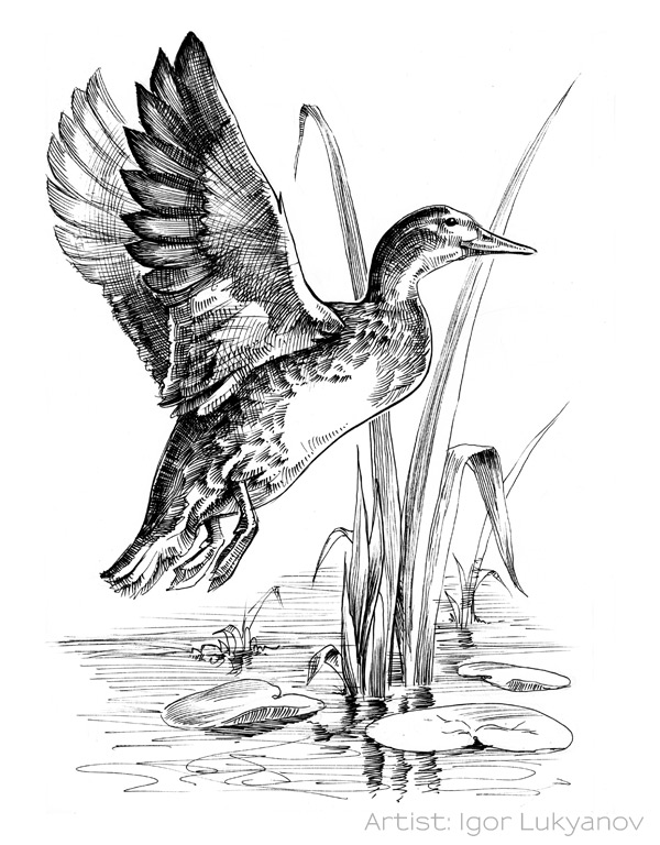 Drawn hunting Duck to considered would was