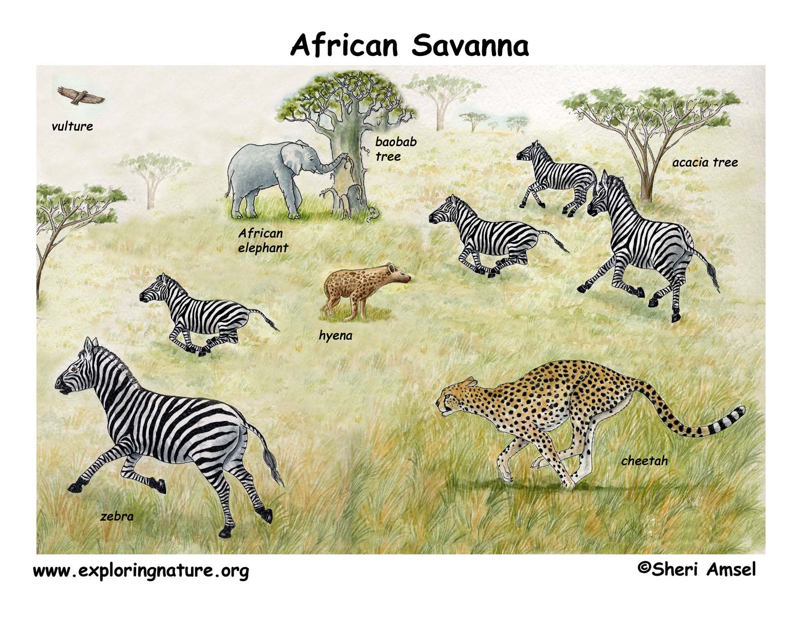 Drawn hunting african savanna Diagram African Veldt Download Color