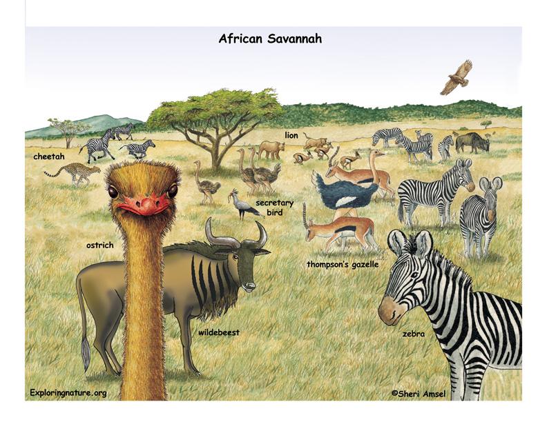 Drawn hunting african savanna Savannah Veldt and The and