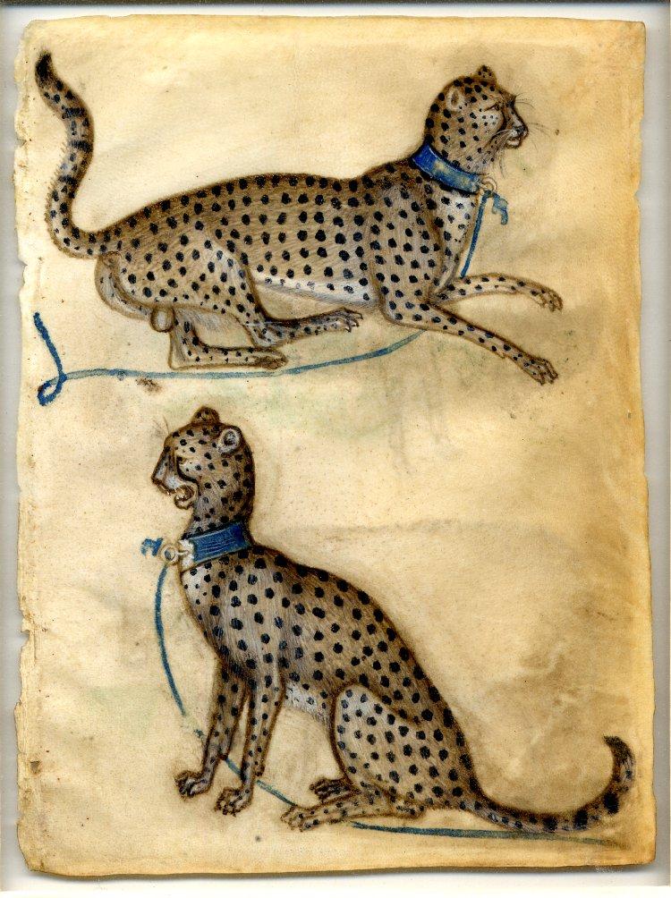 Drawn hunting cheetah British  Museum book drawing
