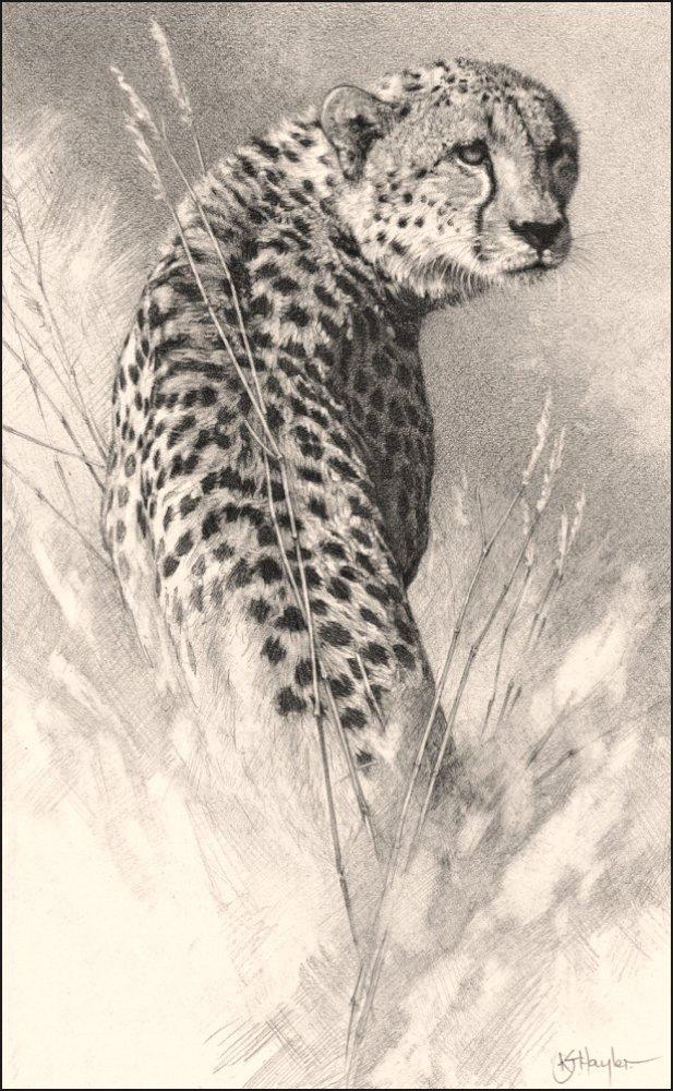Drawn hunting cheetah Waiting Waiting '  by