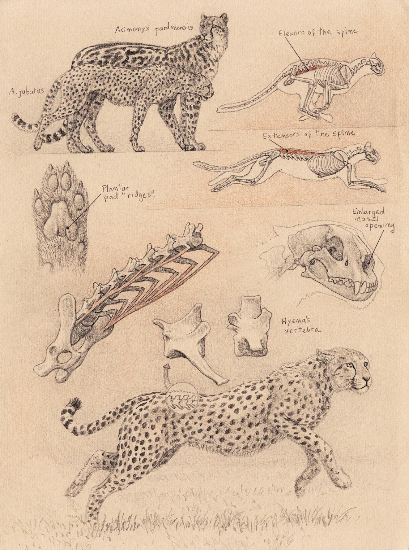 Drawn hunting cheetah Diaries Best old Sabertooth 1: