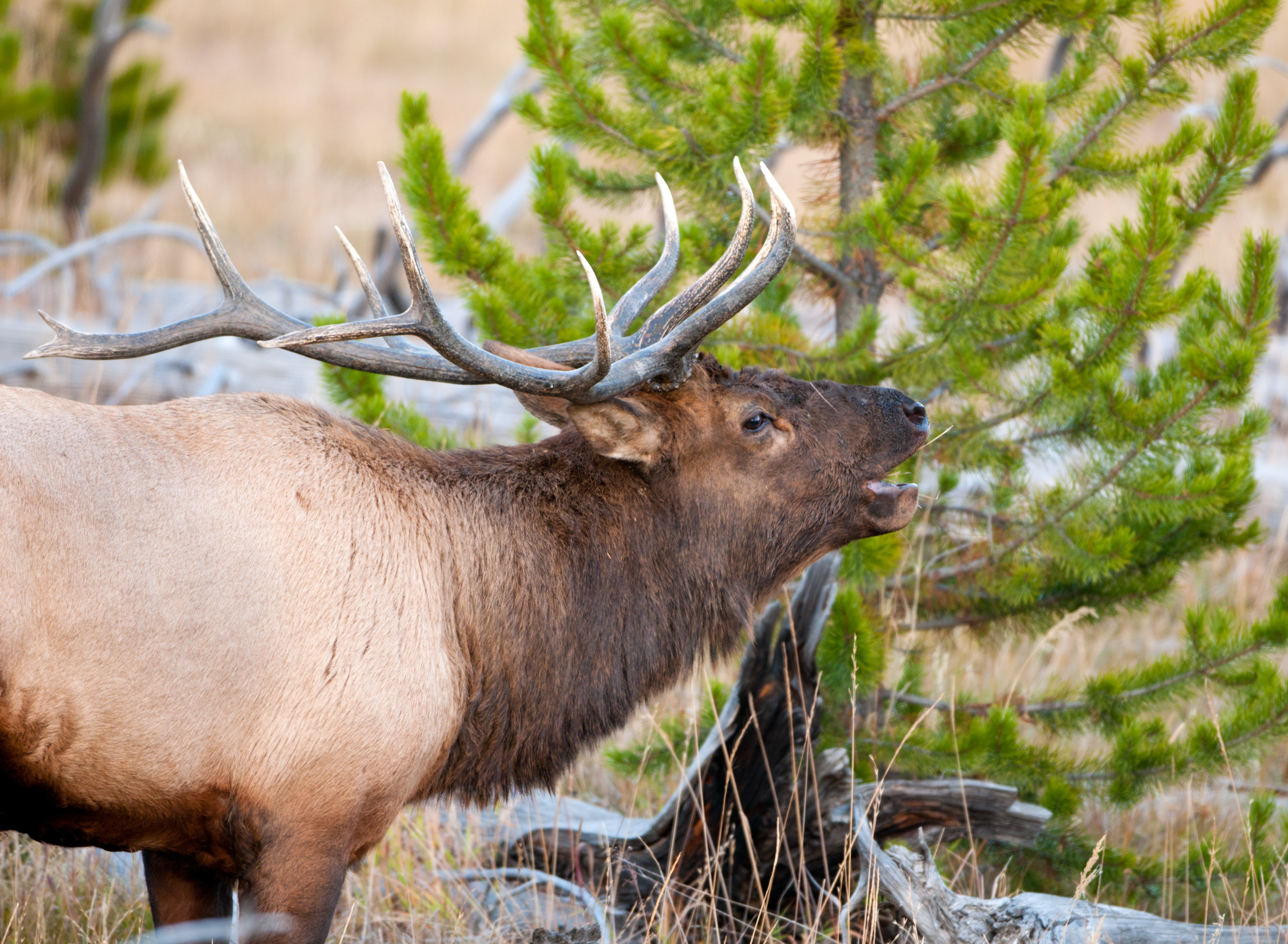 Drawn hunting elk antler California Game Game is 2