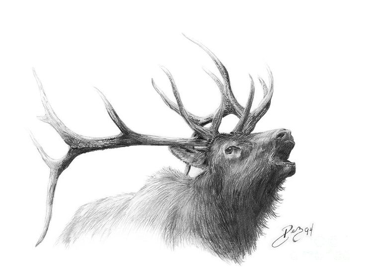 Drawn hunting elk antler 25'den Elk tattoo en iyi