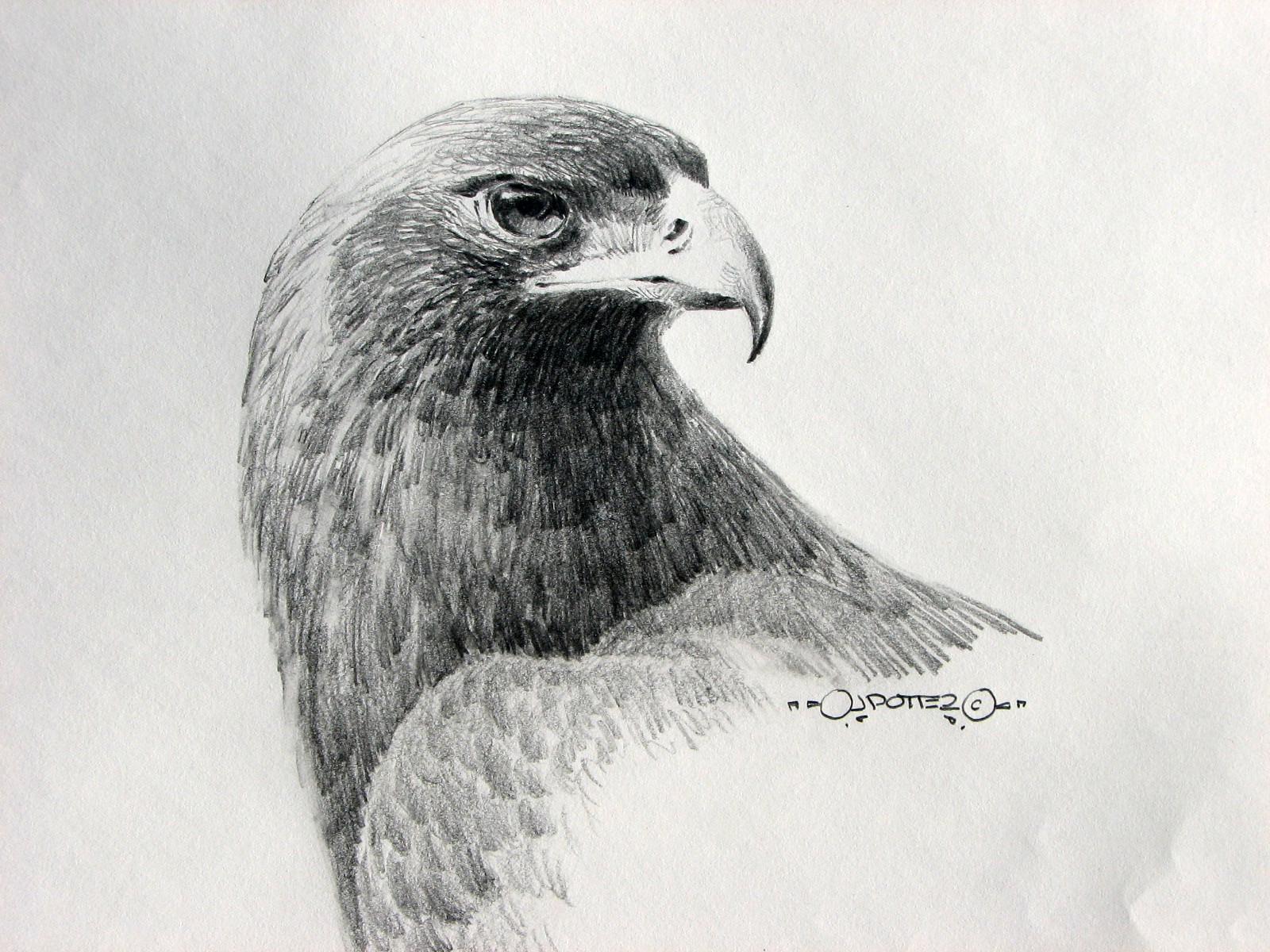 Drawn hawk hunter Sketches the Drawings on of