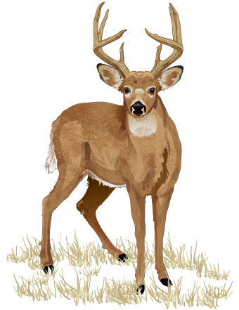 Drawn hunting whitetail deer Deer Study Deer for License