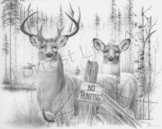 Drawn hunting whitetail deer Whitetail Kvistad Buck Graphite drawing